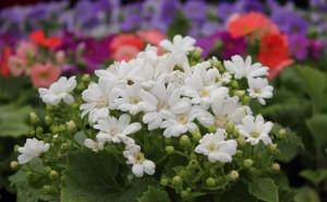 Cineraria Flowers Pictures (16)